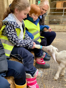 feeding lambs farm